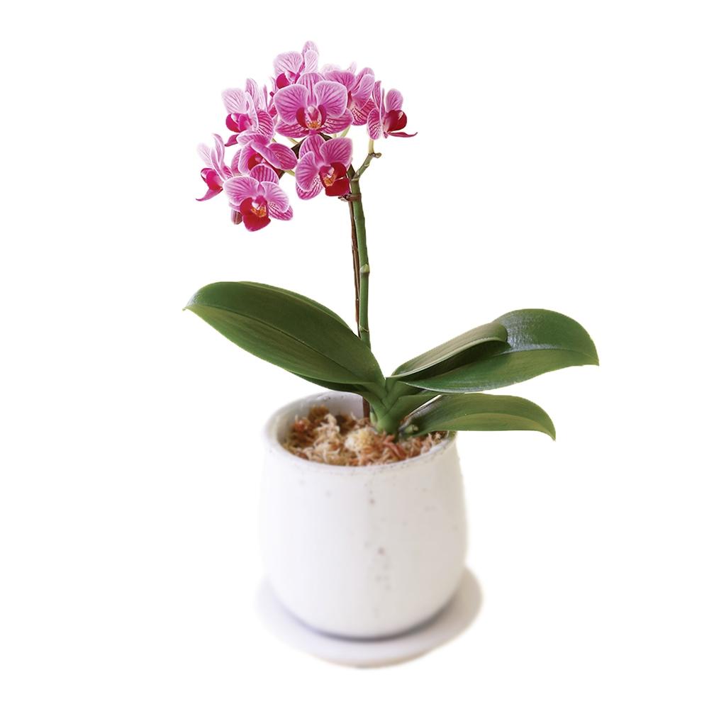 ミディ胡蝶蘭1本立ち ピンク 47002